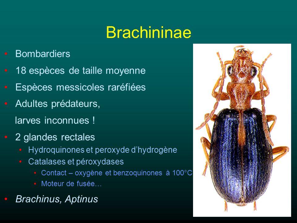 Brachininae Bombardiers 18 espèces de taille moyenne