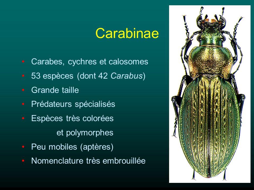 Carabinae Carabes, cychres et calosomes 53 espèces (dont 42 Carabus)