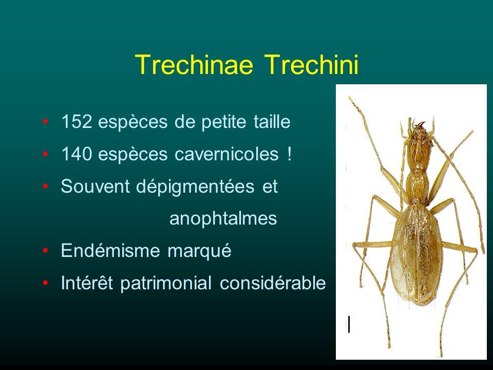 Trechinae Trechini 152 espèces de petite taille