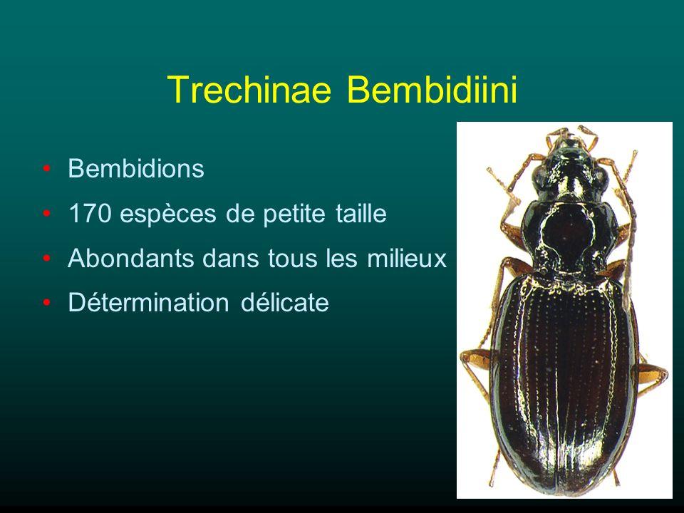 Trechinae Bembidiini Bembidions 170 espèces de petite taille