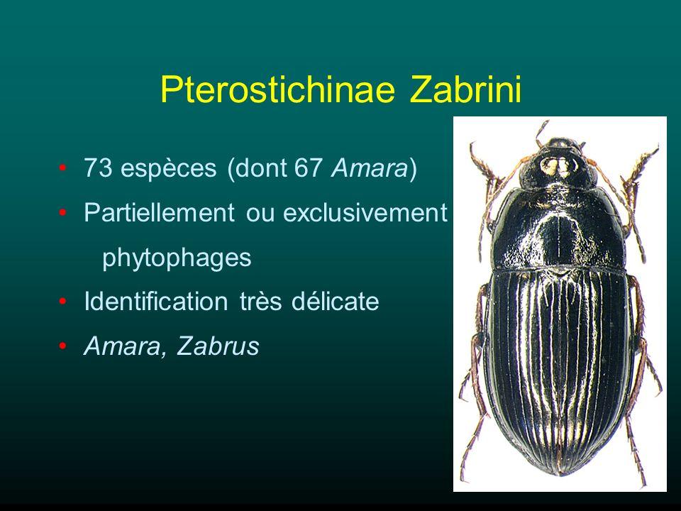 Pterostichinae Zabrini