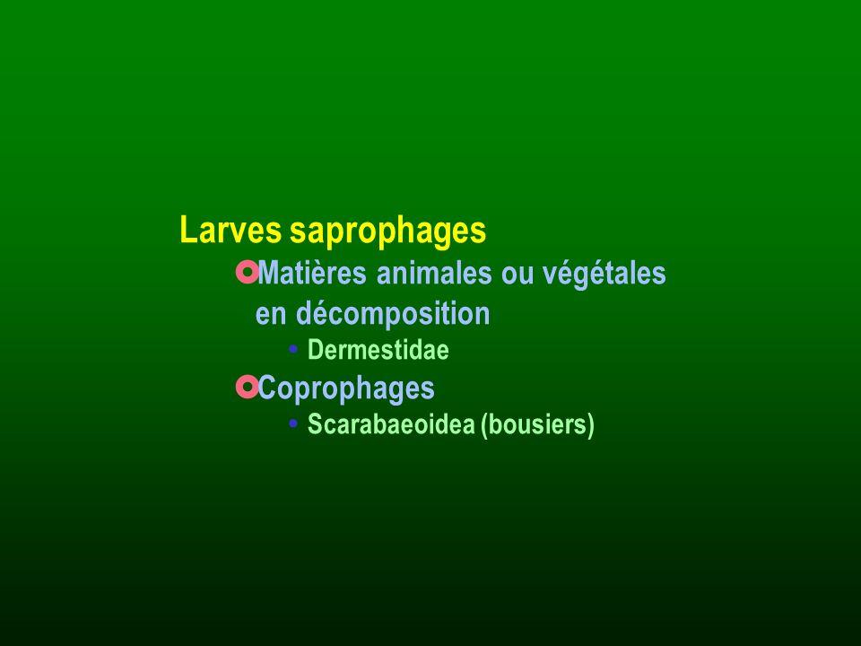 Larves saprophages Matières animales ou végétales en décomposition