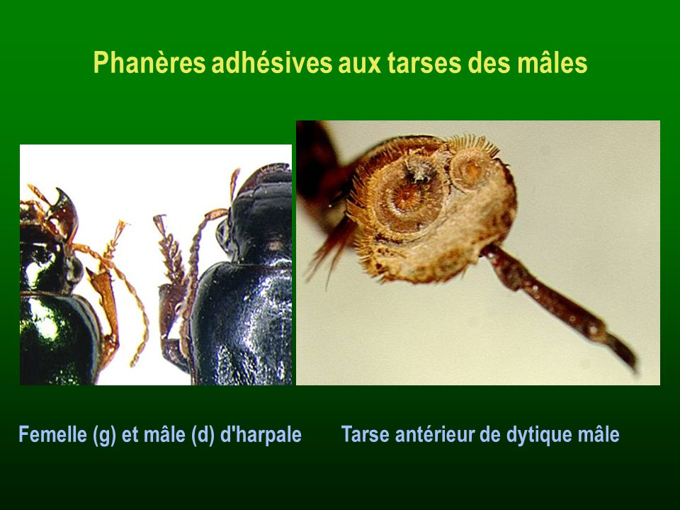 Phanères adhésives aux tarses des mâles