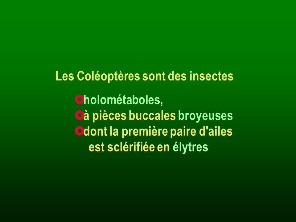 Les Coléoptères sont des insectes