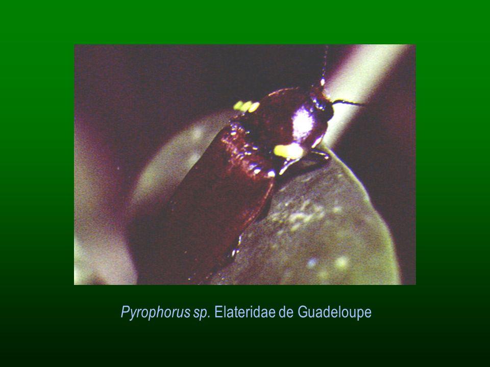 Pyrophorus sp. Elateridae de Guadeloupe