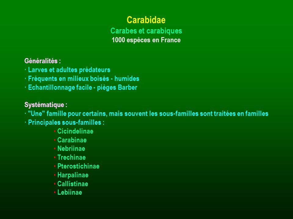 Carabidae Carabes et carabiques 1000 espèces en France Généralités :