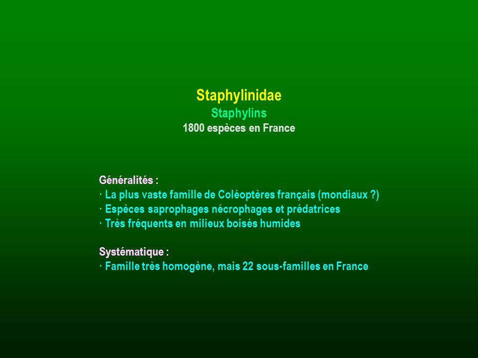 Staphylinidae Staphylins 1800 espèces en France Généralités :