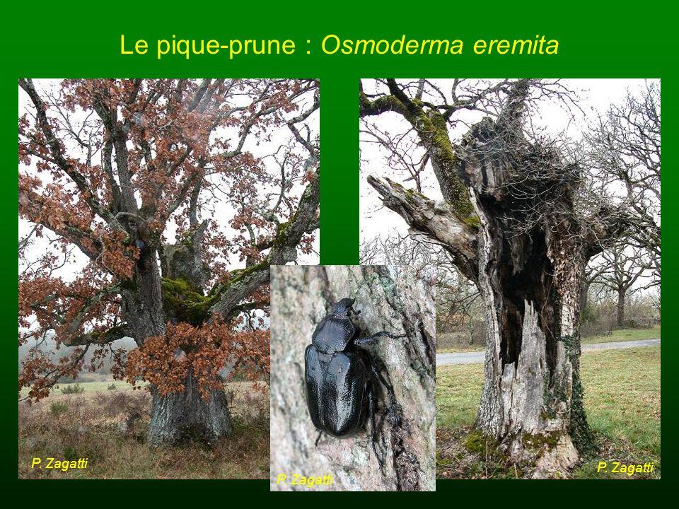Le pique-prune : Osmoderma eremita