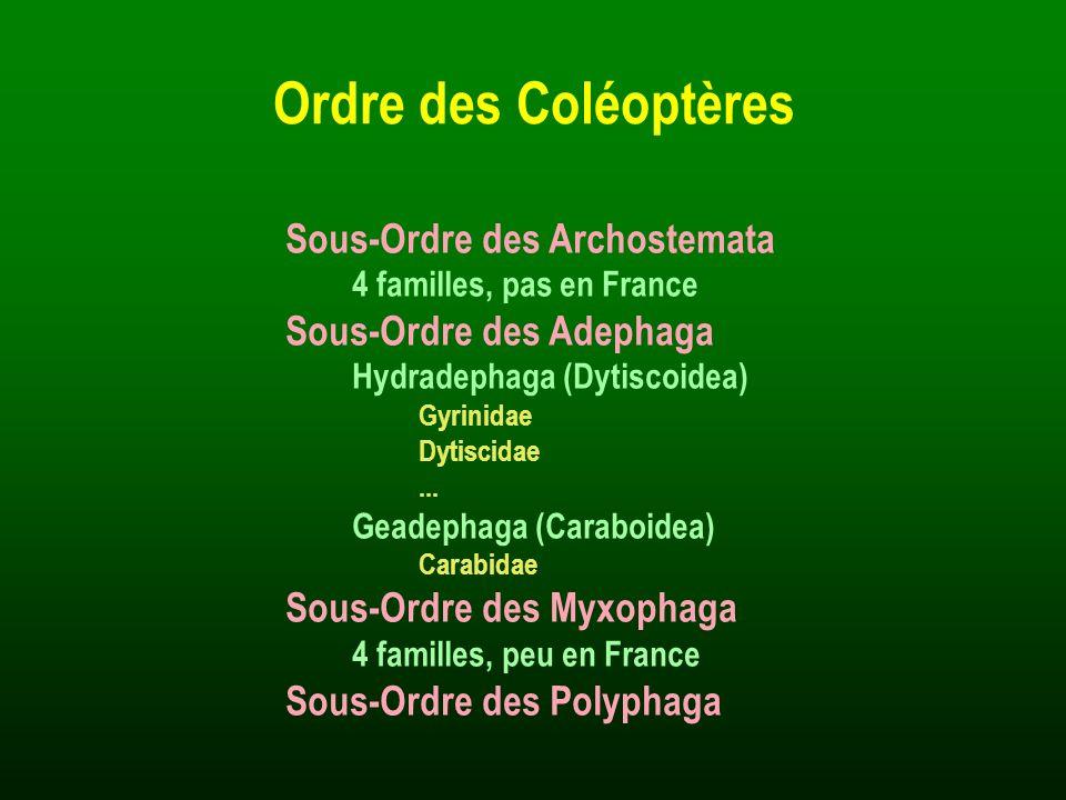 Ordre des Coléoptères Sous-Ordre des Archostemata