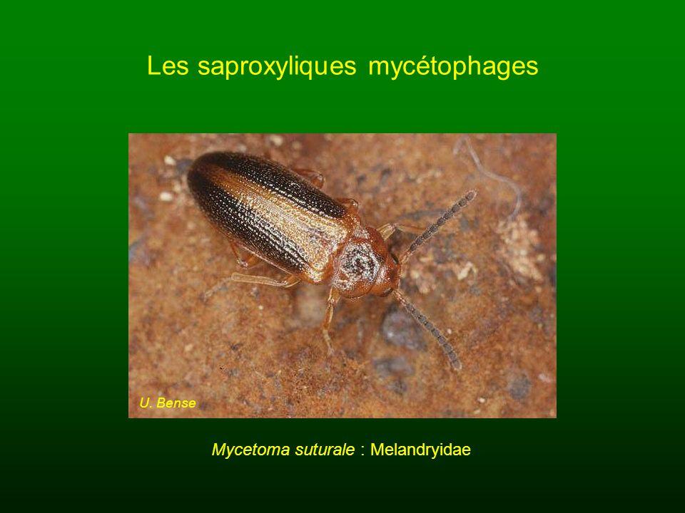 Les saproxyliques mycétophages