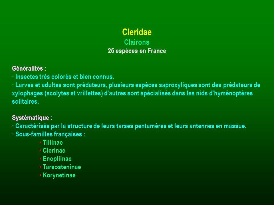 Cleridae Clairons 25 espèces en France Généralités :