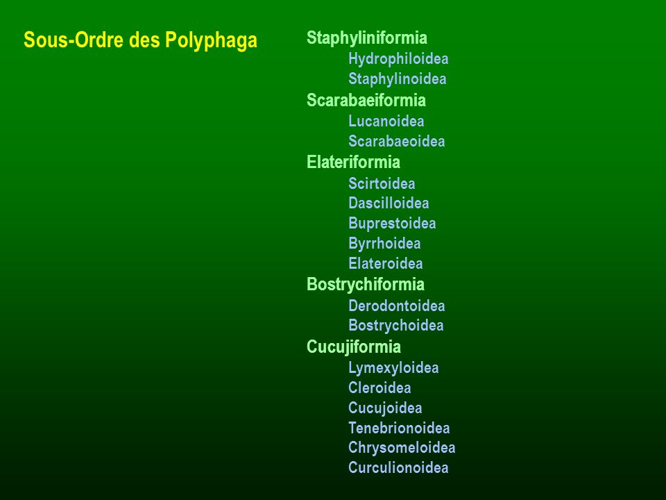 Sous-Ordre des Polyphaga