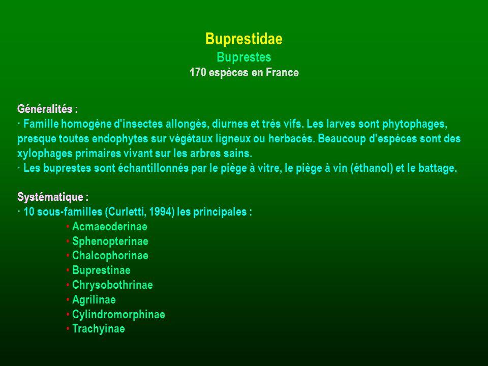 Buprestidae Buprestes 170 espèces en France Généralités :