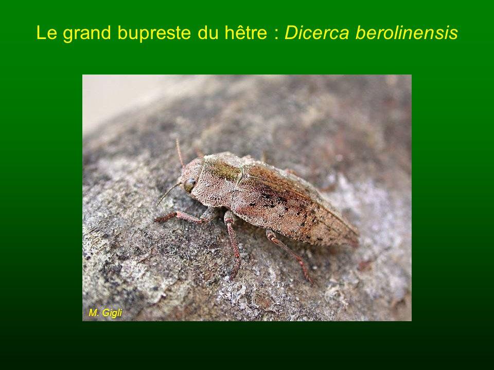 Le grand bupreste du hêtre : Dicerca berolinensis