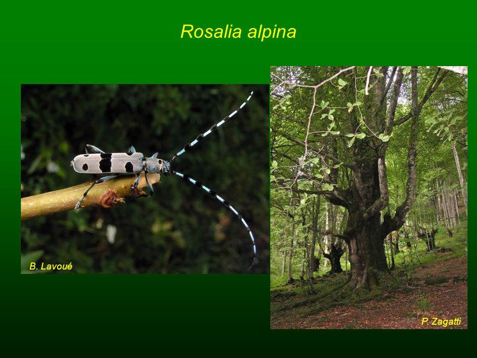 Rosalia alpina B. Lavoué P. Zagatti