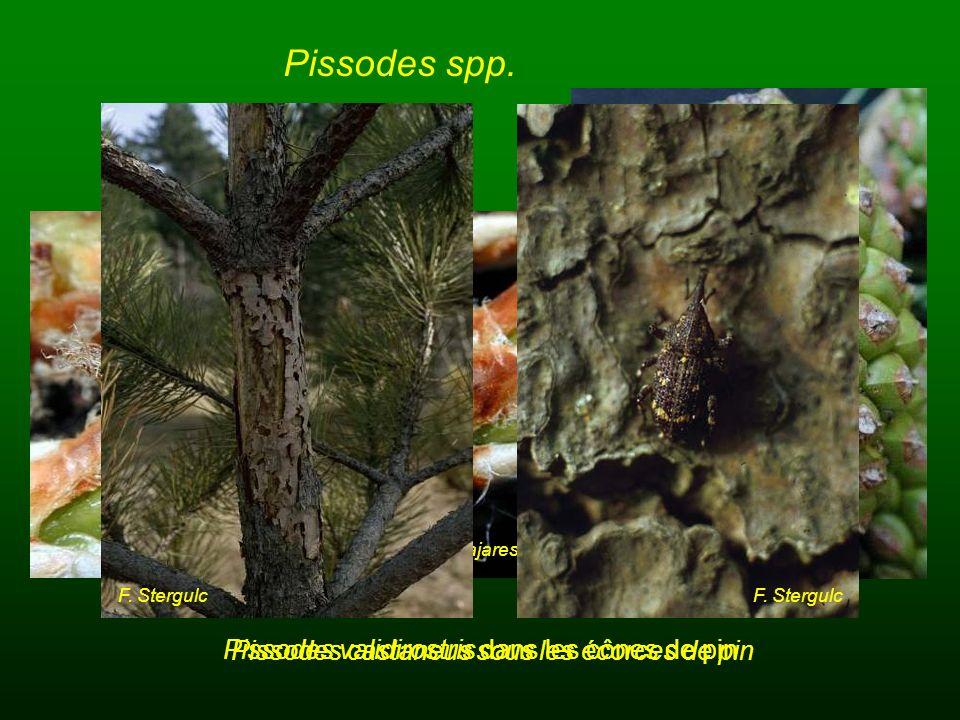 Pissodes spp. Pissodes validirostris dans les cônes de pin