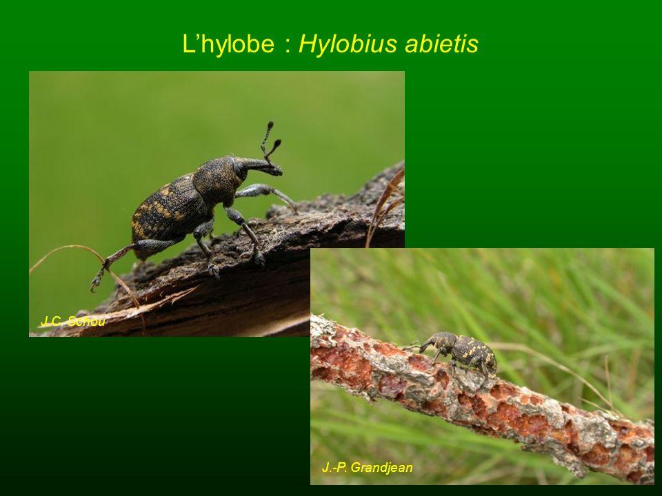 L'hylobe : Hylobius abietis