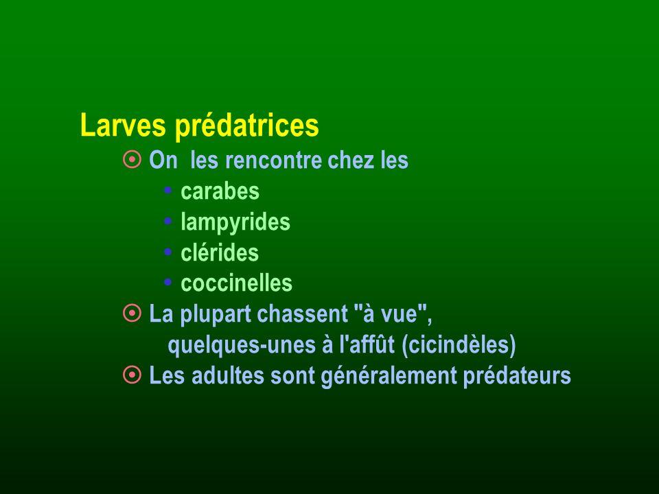 Larves prédatrices On les rencontre chez les carabes lampyrides