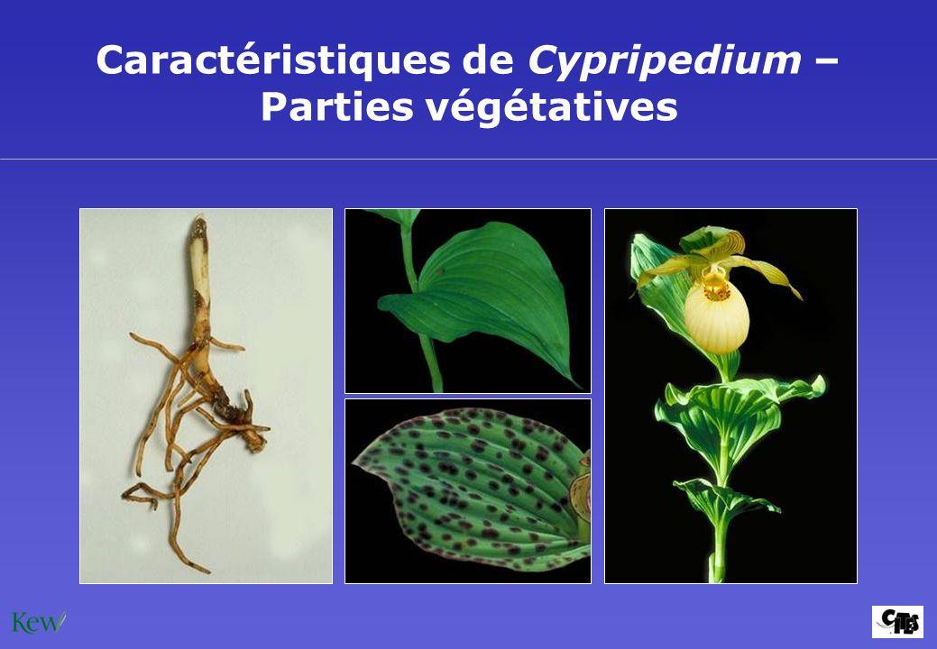 Caractéristiques de Cypripedium – Parties végétatives