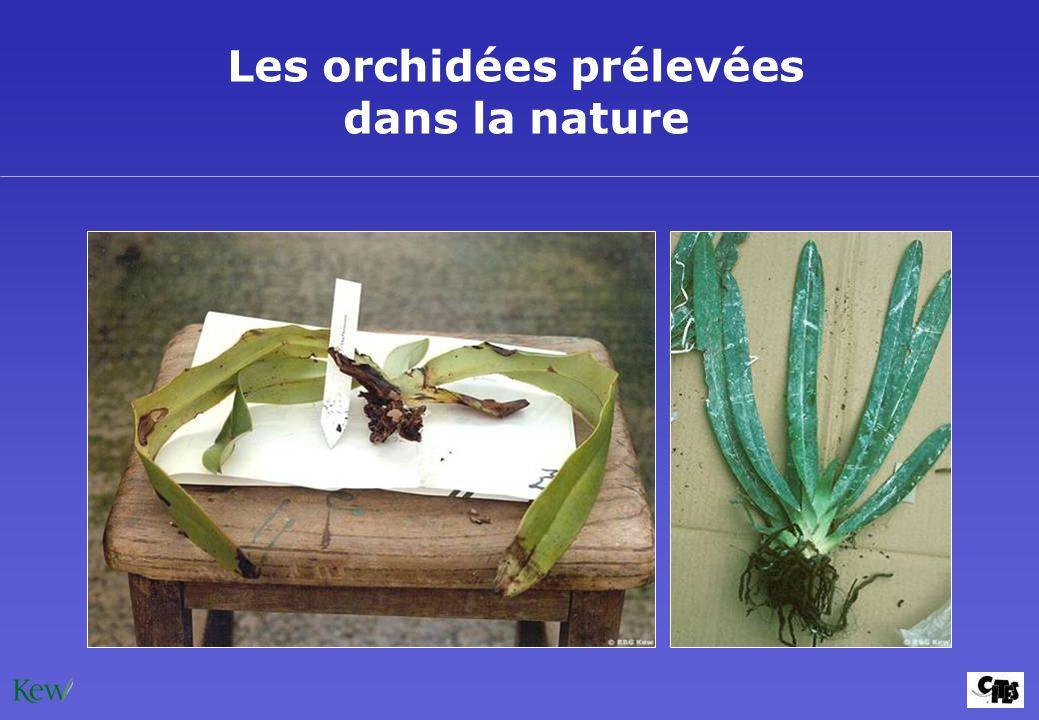 Les orchidées prélevées dans la nature