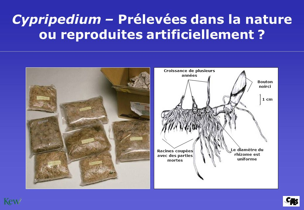 Cypripedium – Prélevées dans la nature ou reproduites artificiellement