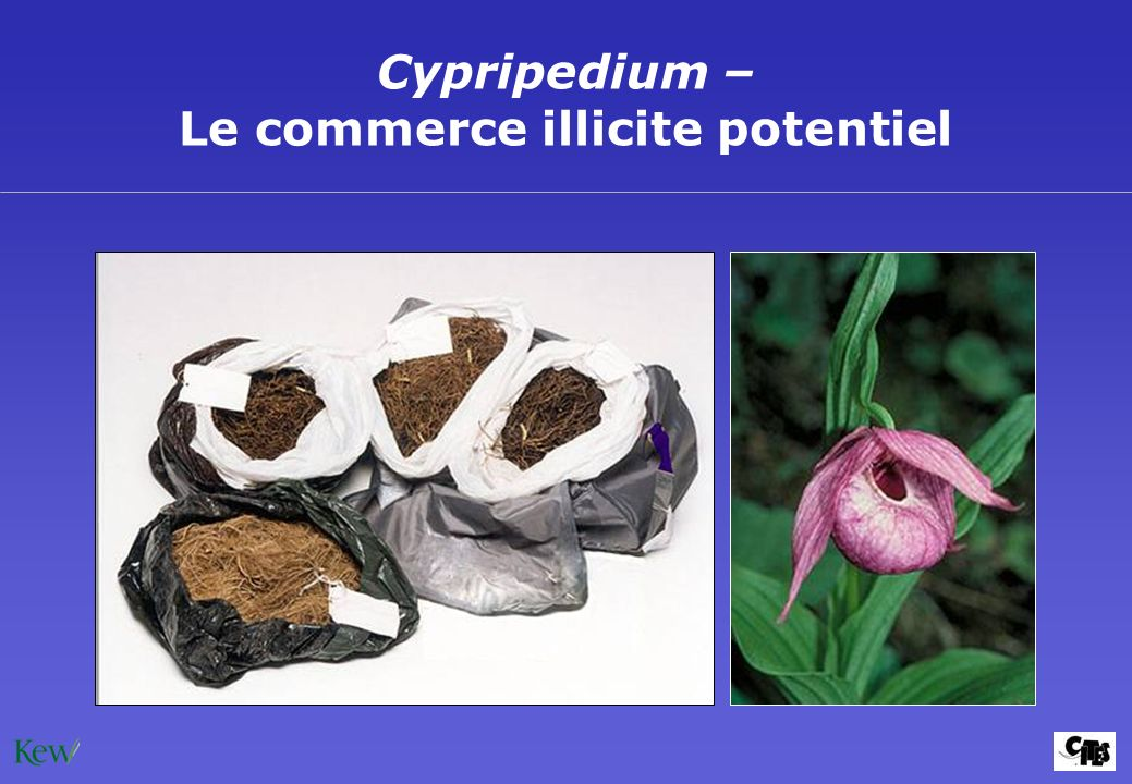 Cypripedium – Le commerce illicite potentiel