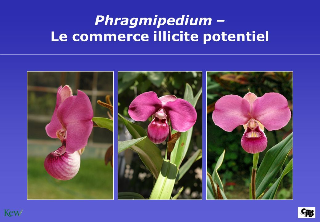 Phragmipedium – Le commerce illicite potentiel