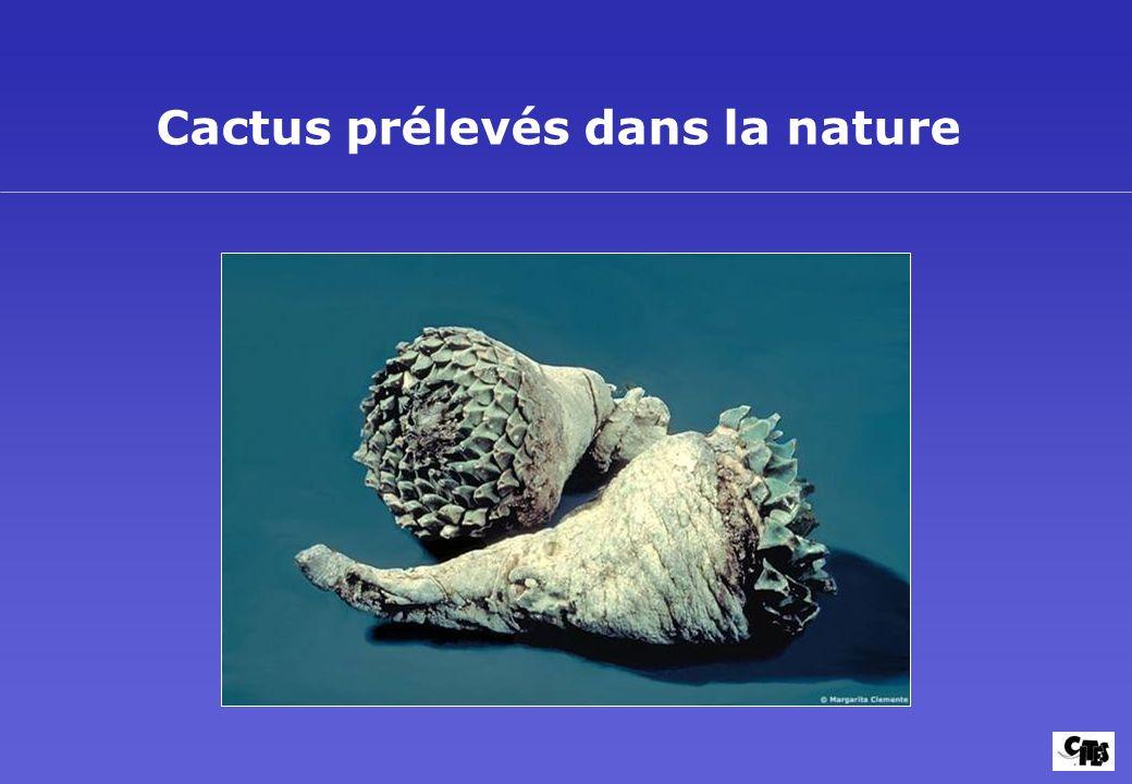 Cactus prélevés dans la nature