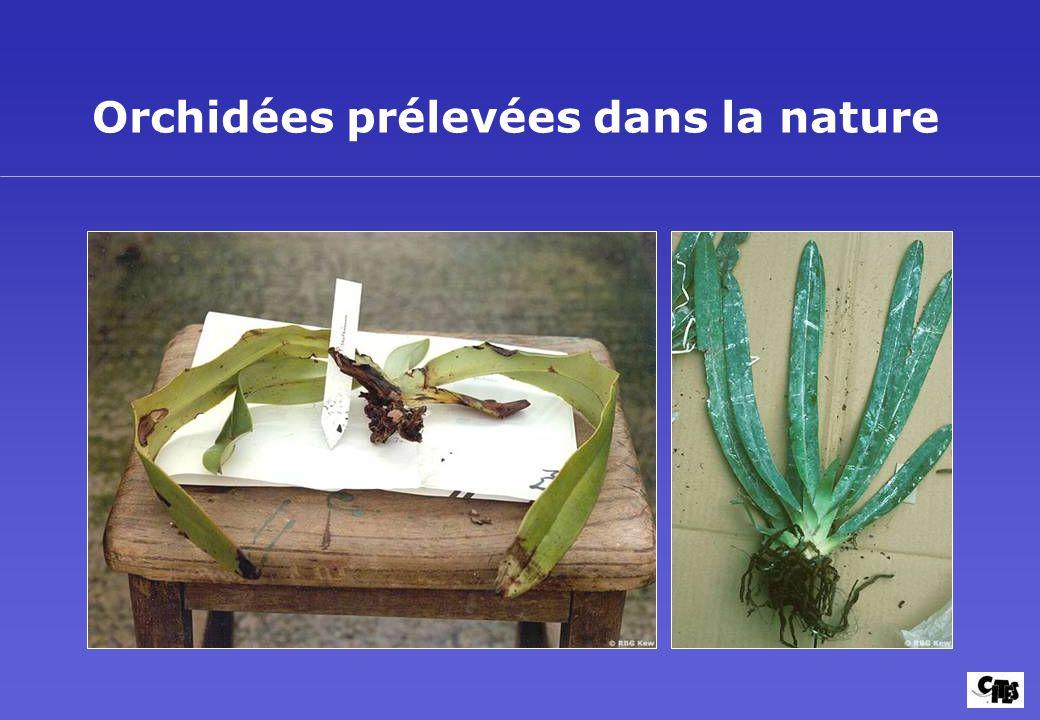 Orchidées prélevées dans la nature