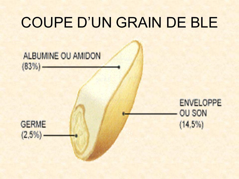 COUPE D'UN GRAIN DE BLE