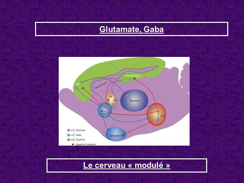 Glutamate, Gaba Le cerveau « modulé »