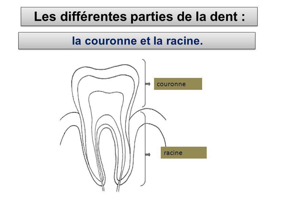Les différentes parties de la dent :