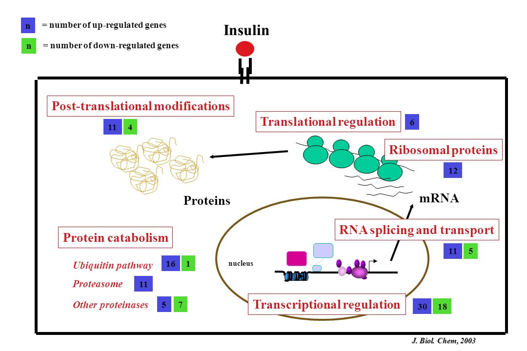 Insulin Post-translational modifications Translational regulation