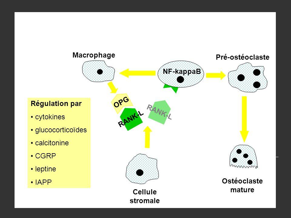 Macrophage Pré-ostéoclaste. NF-kappaB. OPG. RANK-L. Régulation par. cytokines. glucocorticoïdes.