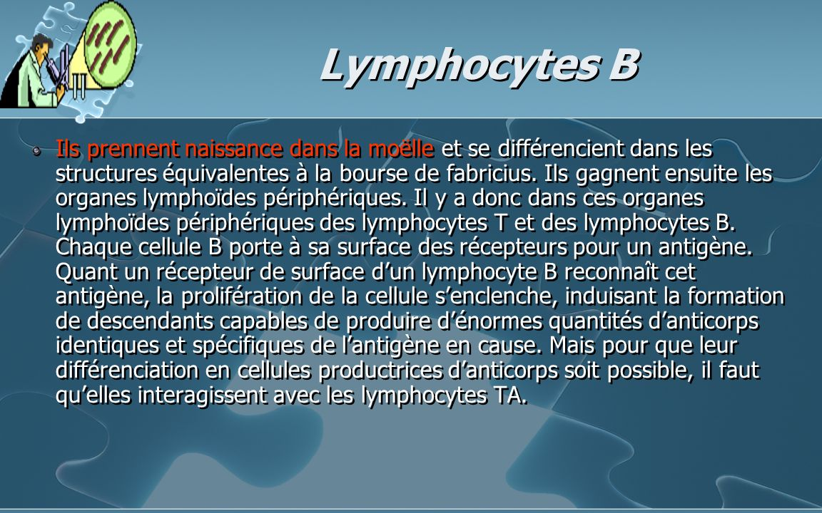 Lymphocytes B