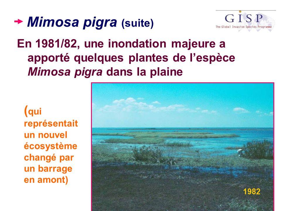 Mimosa pigra (suite) En 1981/82, une inondation majeure a apporté quelques plantes de l'espèce Mimosa pigra dans la plaine.