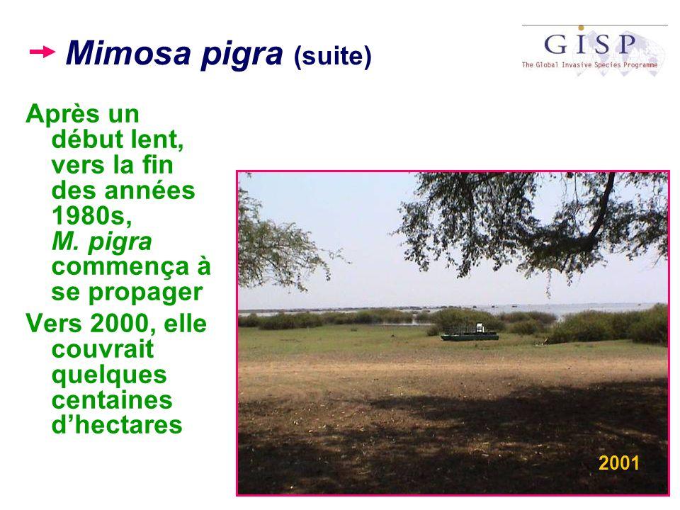 Mimosa pigra (suite) Après un début lent, vers la fin des années 1980s, M. pigra commença à se propager.