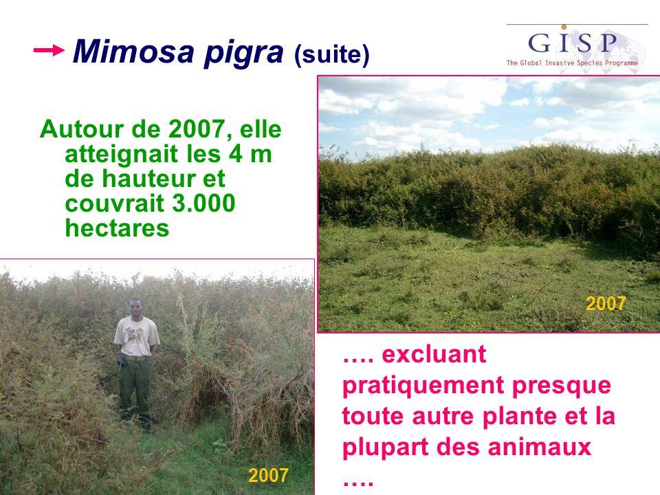 Mimosa pigra (suite) Autour de 2007, elle atteignait les 4 m de hauteur et couvrait 3.000 hectares.