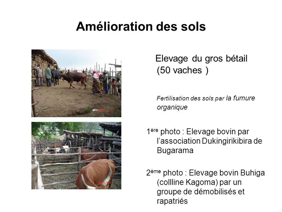 Amélioration des sols Elevage du gros bétail (50 vaches )