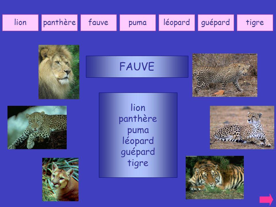 FAUVE lion panthère puma léopard guépard tigre lion panthère fauve