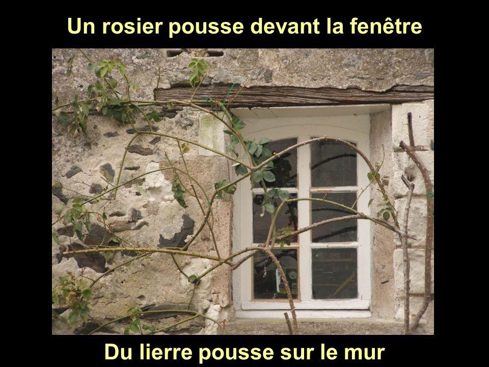 Un rosier pousse devant la fenêtre Du lierre pousse sur le mur