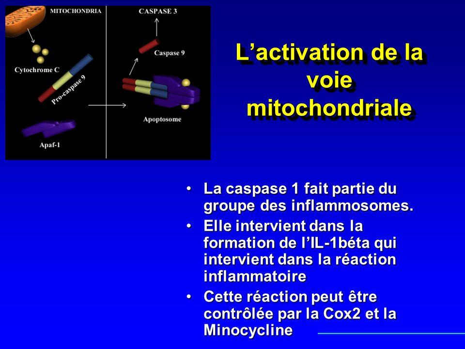 L'activation de la voie mitochondriale