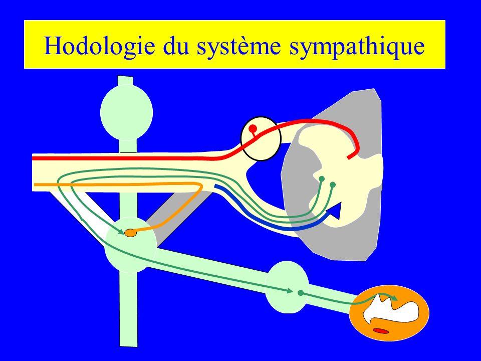 Hodologie du système sympathique