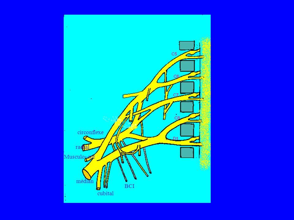 circonflexe radial Musculo- cut médian BCI cubital