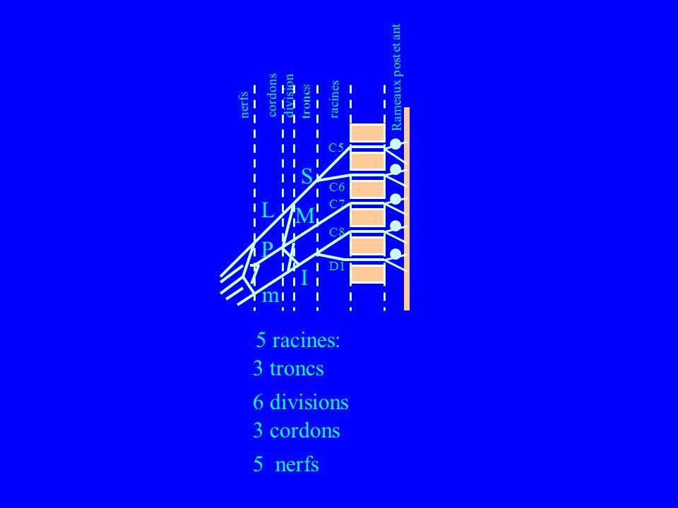S L M P I m 5 racines: 3 troncs 6 divisions 3 cordons 5 nerfs