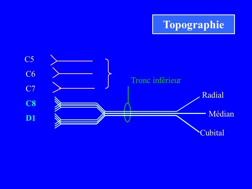 Topographie C5 C6 Tronc inférieur C7 Radial C8 Médian D1 Cubital