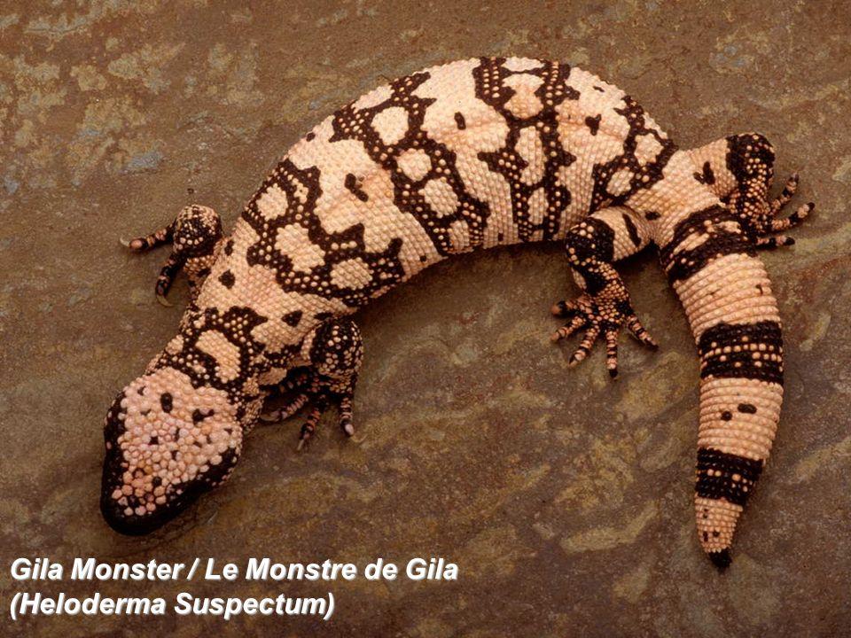 Gila Monster / Le Monstre de Gila (Heloderma Suspectum)