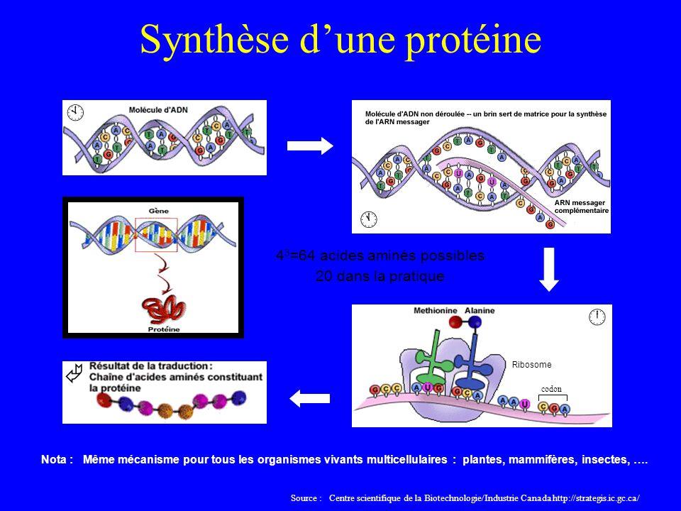 Synthèse d'une protéine
