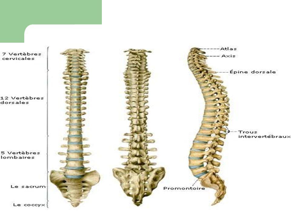 rappel anatomique: