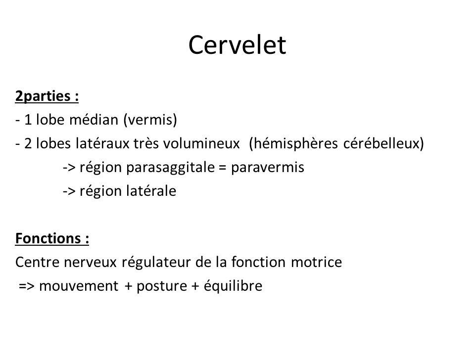 Cervelet 2parties : - 1 lobe médian (vermis)